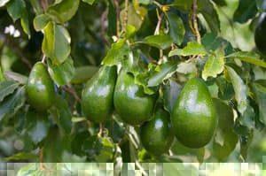 Avocado Herkunft