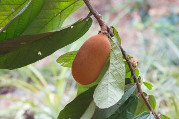 Cupucacu Frucht